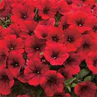 6 Surfinia Single Trailing Scarlet