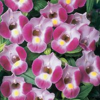 6 Torenia Rose Moon