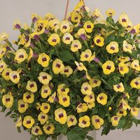 6 Torenia Yellow Moon