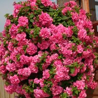 6 Surfinia Trailing Double Pink