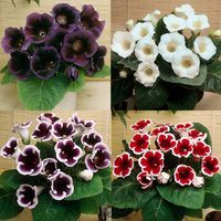12 Gloxinia Complete Collection