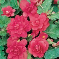6 Begonia Illumination Intense Rose