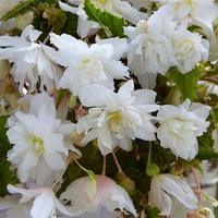 Begonia Illumination White Sparkle