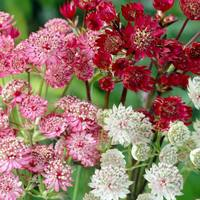 5 Astrantia Mixed