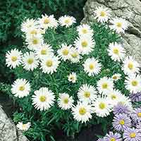 6 Aster Alpinus White Beauty