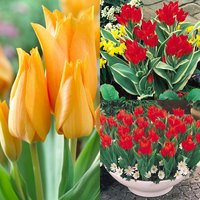 45 Praestans Tulip Collection 10/11cm