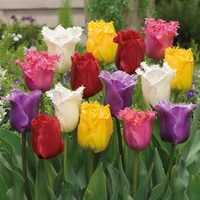 15 Fringed Tulips Mixed 11/12cm