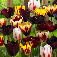 15 Tulip Burgundy Blend Mixed