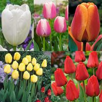 75 Tulip Darwin Hybrid Collection 11/12cm