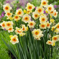 Narcissi Beautiful Eyes 10/12cm