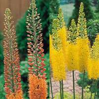 6 Eremurus Collection