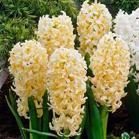 10 Hyacinth Gypsy Princess 14-15cm
