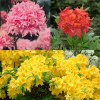 3 Azalea Knap Hill Collection