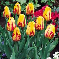 15 Tulip Striped Bellona
