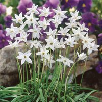 Ipheion Uniflorum White Star