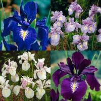 Iris - Latifolia Collection