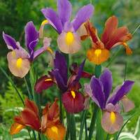 25 Iris Tiger Mixed