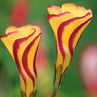 3 Oxalis Golden Cape
