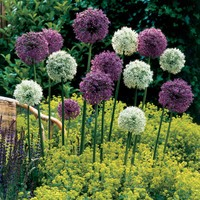 6 Giant Allium Collection 18cm+