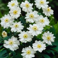 3 Anemone japonica Whirlwind