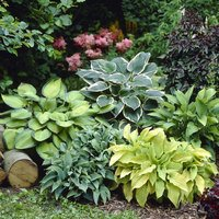 5 Hosta Mixed
