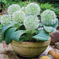 15 Allium Ivory Queen