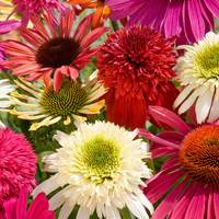 5 Echinacea Single/Double Mixed