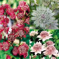 3 Astrantia Collection