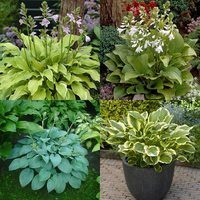 4 Fragrant Hosta