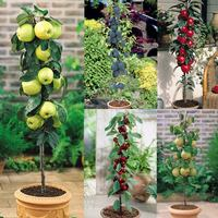5 Miniature Patio Fruit Trees Collection