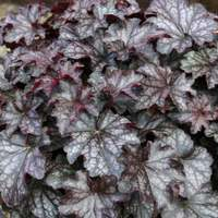 3 Heuchera Blackberry Jam