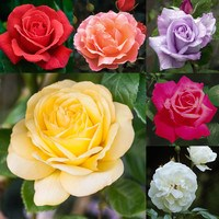 6 Rose Super Scented Collection