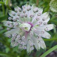 3 Astrantia Major
