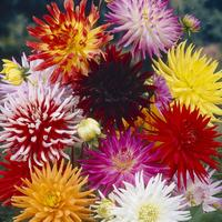 9 Dahlia Large Flowering Cactus Collection