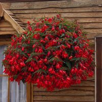 6 Begonia Firewings Red