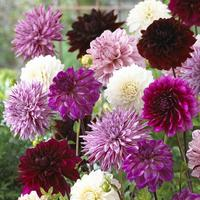 5 Dahlia Purple Blends Mixed