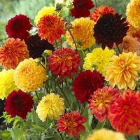 5 Dahlia Orange/Yellow Blends Mixed