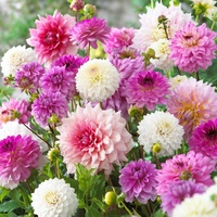 5 Dahlia Pink/White Blends Mixed