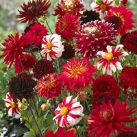 5 Dahlia Red Blends Mixed