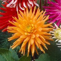 3 Dahlia Gold Crown