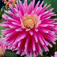 3 Dahlia Good Earth