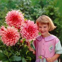 3 Dahlia Ottos Thrill