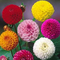 6 Dahlia Pompom Collection