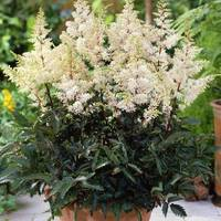 Astilbe Dwarf Patio Rock and Roll