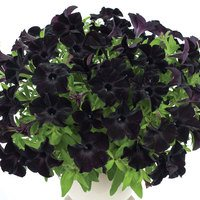 6 Petunia Back to Black
