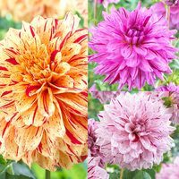 9 Dahlia Painted Collection