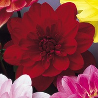 3 Dahlia Water Lily Dark Red