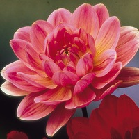 3 Dahlia Water Lily Dark Rose