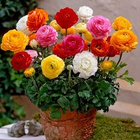 25 Ranunculus Tomer Mixed