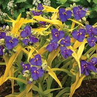 3 Tradescantia Sweet Kate